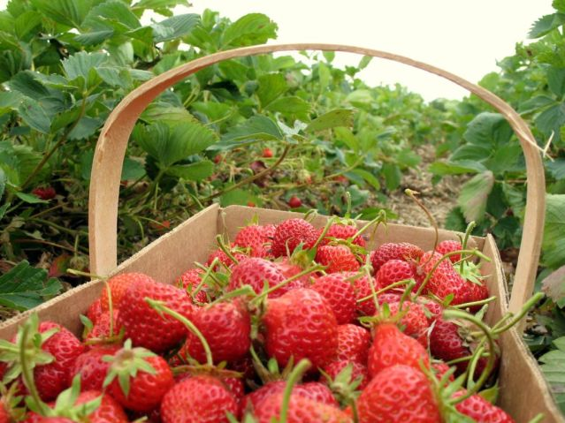 strawberry-picking-basket